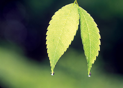 Two leaves with water drops picture material