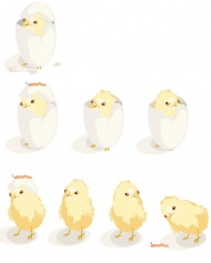 Hatching process of chicks vector material