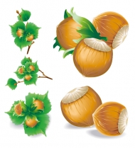 5 Chestnut Vector Illustrations (Vector)